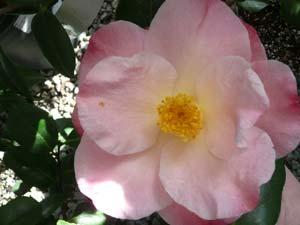 subject_flower_camillia6