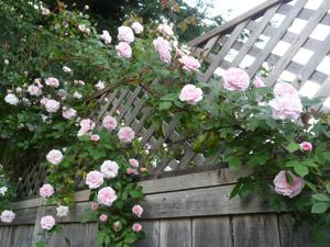 subject11_rose_01