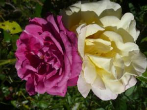 subject11_rose_03