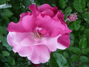 subject11_rose_06