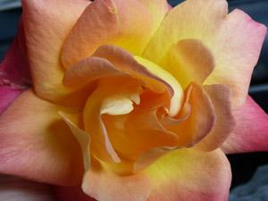 subject11_rose_20