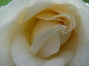 subject11_rose_24