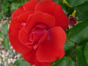subject11_rose_25