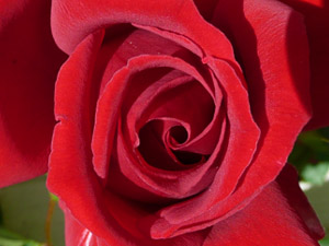 subject11_rose_27