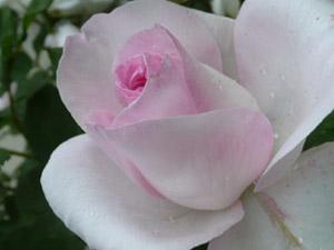 subject11_rose_28