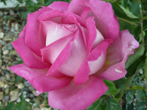 subject11_rose_30