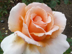 subject11_rose_35