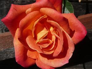 subject11_rose_39