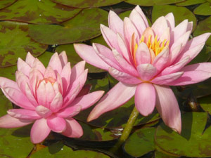 subject18_water_lillies_02