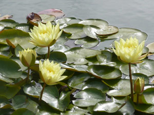 subject18_water_lillies_03