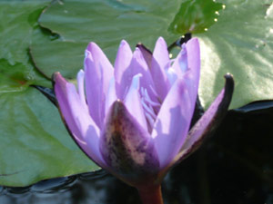 subject18_water_lillies_08