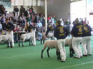 subject19_Fair_livestock3b