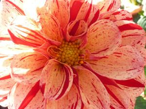 subject22_dahlia_petal06