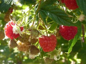 subject22_raspberries01