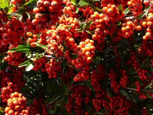 sub26_berries05
