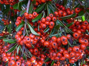 sub26_berries06