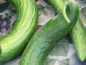 Y2sub32_Cucumber02