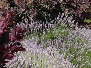 Y2sub32_Lavender06