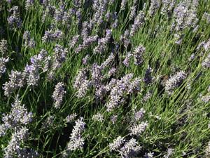 Y2sub32_Lavender08