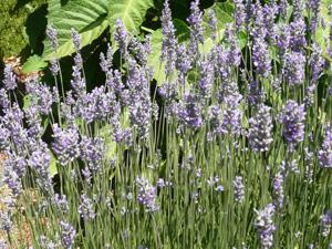 Y2sub32_Lavender11