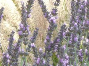 Y2sub32_Lavender14